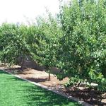 Yard fruit orchard