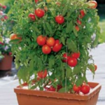 Tomatoes growing vertically in a container
