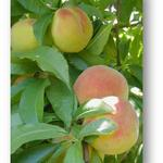 Bountiful peach crop