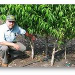 Four fruit trees planted in the same hole for maximum production