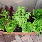 Six mixed greens lettuce and a fragrant basil